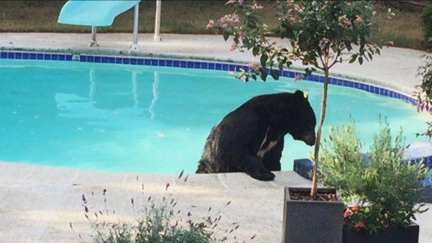 Həyətə girən ayı hovuz kənarında yatmış ev sahibini oyandırdı